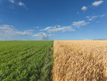 Wheat and clover fields at idyllic sunny summer day Royalty Free Stock Photo