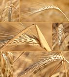 Wheat Collage. Close up of ripe wheat in bright sunshine royalty free stock photo