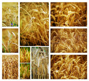 Wheat collage. Collage of golden wheat summer fields stock photography
