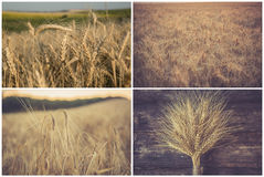 Wheat collage. Collage made of different kinds of wheat images as subject stock image