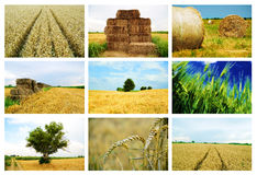 Agriculture collage. Collage of wheat summer fields Royalty Free Stock Images