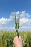 Wheat concept Stock Photography