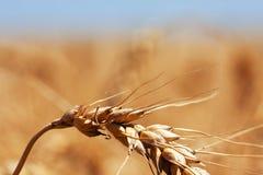 Wheat cone Stock Photo