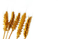 Wheat with copy space Royalty Free Stock Photo