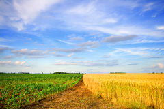 Wheat and corn. Two adjacent fields - wheat and corn in rural Indiana Stock Images