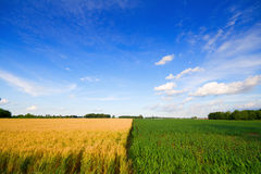 Wheat and corn. Two adjacent fields - wheat and corn in rural Indiana Royalty Free Stock Photo