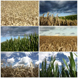 Wheat and corn field crop details collage. Detailed  wheat crop and corn field with an intense gold color in dramatic storm colors Royalty Free Stock Photo