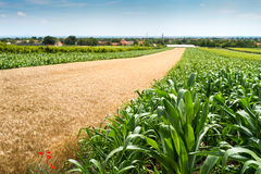 Wheat and corn field. In summer Royalty Free Stock Photo