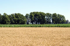Wheat and corn fields Stock Images