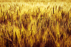 Free Wheat Corn Filed At Sunset Stock Photo - 15249510