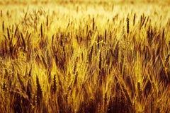 Wheat corn filed at sunset Stock Photo
