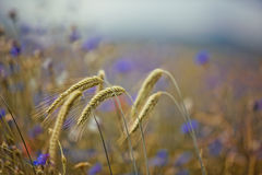 Wheat with Corn Flowers Stock Photography