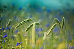 Wheat with Corn Flowers Royalty Free Stock Image