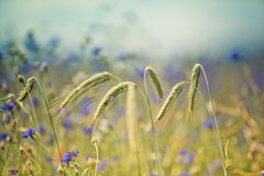 Wheat with Corn Flowers Stock Photo