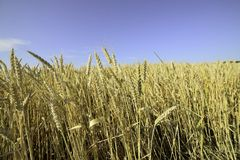 Wheat corn. Golden ripe wheat on a grain field Royalty Free Stock Images