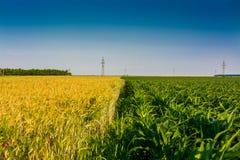 Wheat and Corn. Half corn and half wheat field Royalty Free Stock Photo
