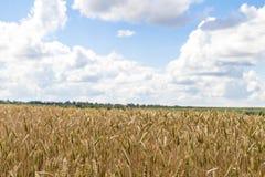 Wheat corn harvest in Ukraine Stock Image