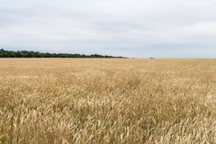 Wheat corn harvest in Ukraine Royalty Free Stock Photo