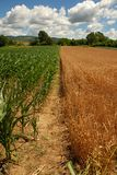 Wheat and corn planting Royalty Free Stock Photo