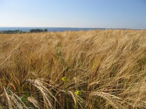 Wheat cornfield. Wheat corn field with the Baltic sea in the background Stock Photos