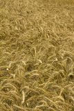 Wheat or cornfield Royalty Free Stock Image