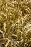 Wheat or cornfield Stock Photo