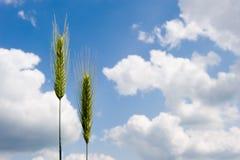 Wheat on cornfield Stock Photography