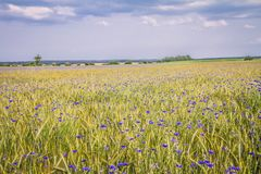 Wheat and cornflowers field royalty free stock images