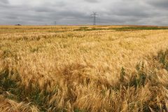 Wheat in country Royalty Free Stock Photo