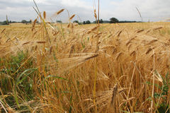 Wheat in countryside Stock Image