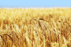 Wheat Crop. Yellow wheat Crop on a field in late summer Stock Photos