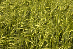 Wheat crop. Field basking in warm spring sunlight Stock Photo
