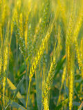 WHEAT CROP Royalty Free Stock Image