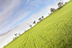 Wheat crop Royalty Free Stock Photo