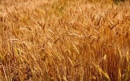 Wheat crop. Ripen crop of wheat at an india farm Stock Image