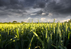 Wheat Crop. Ripening and threatened by storm Stock Photography