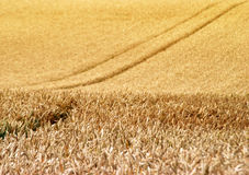 Wheat Crop Stock Photography