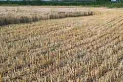 Wheat crop being harvested. Royalty Free Stock Photo