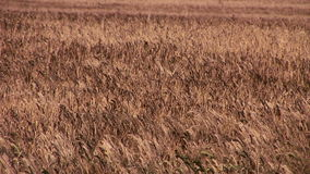 Wheat crop blowing in the wind in England. English countryside and wheat growing stock footage