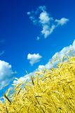 Wheat crop and blue sky Royalty Free Stock Image