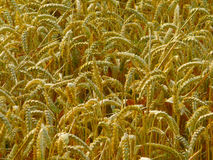 Wheat crop. Close up of a wheat crop about to be harvested Stock Photo