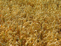 Wheat crop. Close up of a wheat crop about to be harvested Stock Photography
