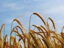 Wheat crop closeup Stock Image