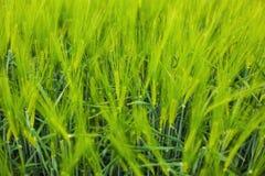 Wheat crop closeup. Green wheat crop closeup, agriculture concept Stock Photography