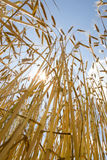Wheat crop with cloudy sky Stock Photography