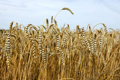 Wheat crop with cloudy sky. Low angle view of a wheat crop with cloudy sky in background Royalty Free Stock Images