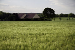Wheat crop field Stock Photography