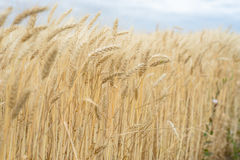 The wheat crop in field Stock Photo