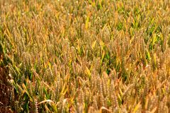 Wheat Crop Field Royalty Free Stock Photos