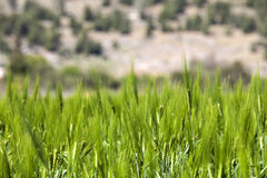 Wheat Crop Field. Wheat crops plant field in summer Royalty Free Stock Images